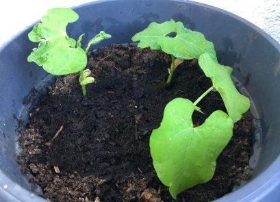 Bohnen einpflanzen nach Kasimirs Anweisungen
